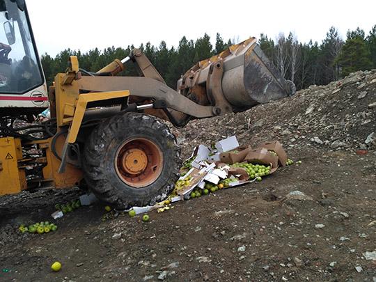 В Екатеринбурге раздавили трактором 450 кг яблок